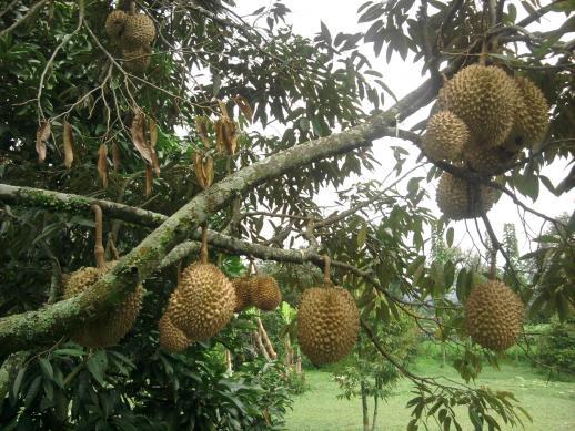Pekanbaru Jadi Sentra Produksi Durian